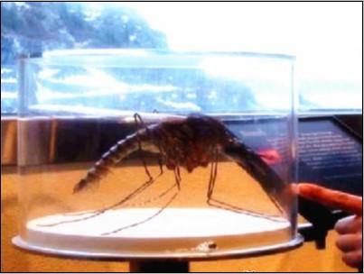 世界上最大的蚊子包